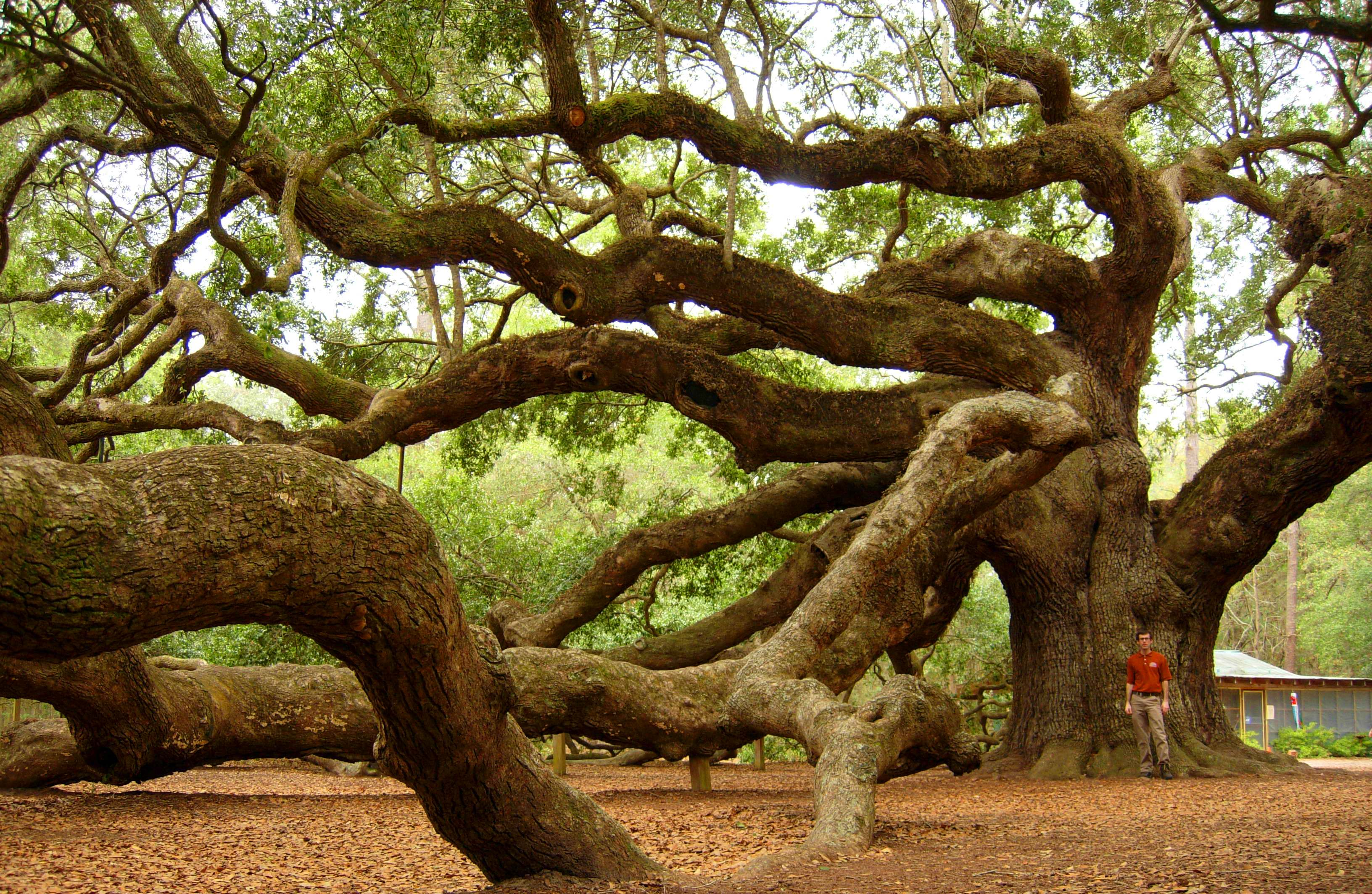 Tree Services Angel Oak